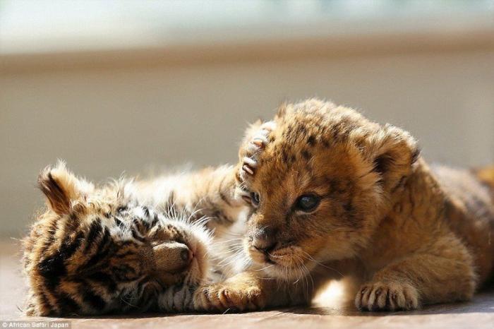 В японском сафари-парке живут неразлучные друзья – львёнок и тигренок (15 фото)