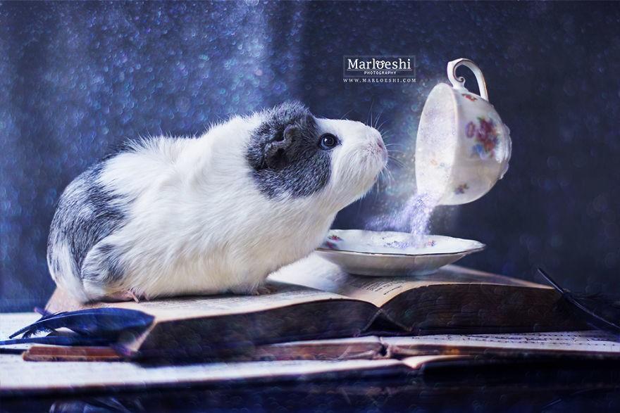 Фотогеничная морская свинка по кличке Мипс