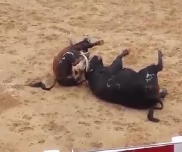 Столкнувшиеся головами быки упали замертво