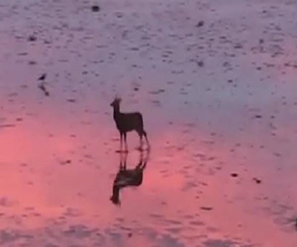 Молодой олень прыгает по обмелевшей гавани