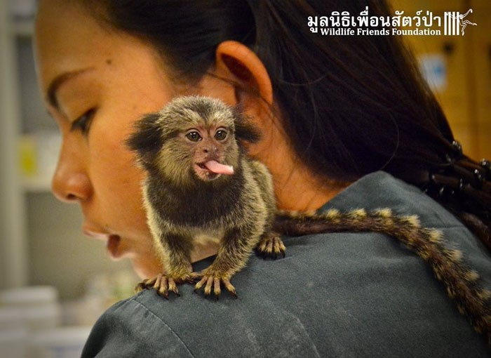 Макс – обезьянка, которой очень повезло попасть в любящие руки