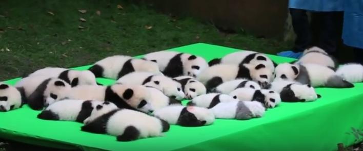 23 очаровательные маленькие панды отдыхают