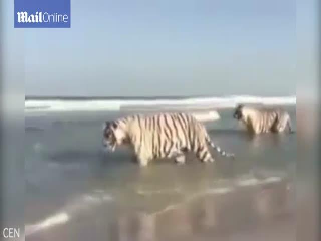 Оказывается, тигры любят купаться