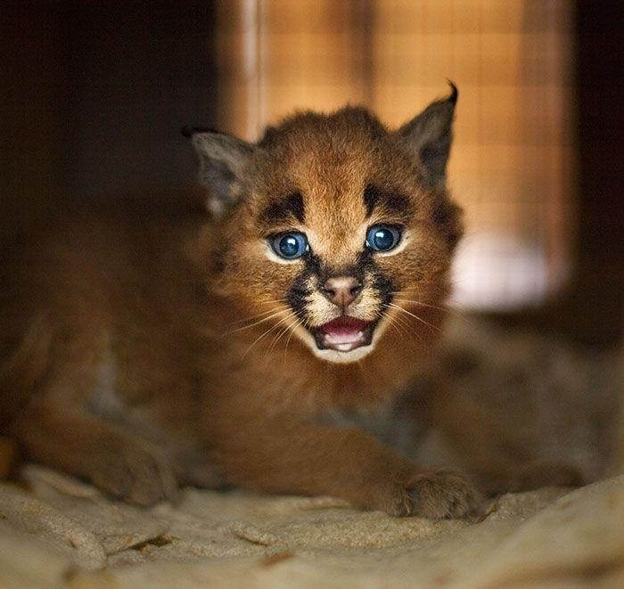 Очаровательные котята каракала