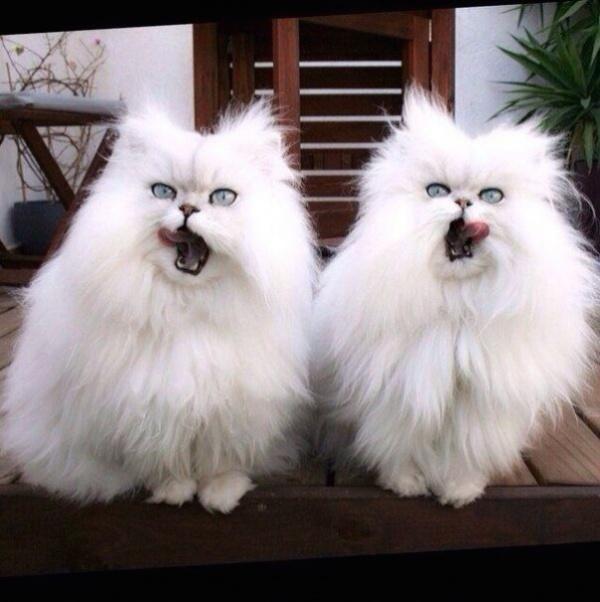 Коты, удивляющие своей синхронностью (36 фото)