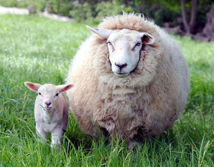Как стригут овец и обрабатывают шерсть
