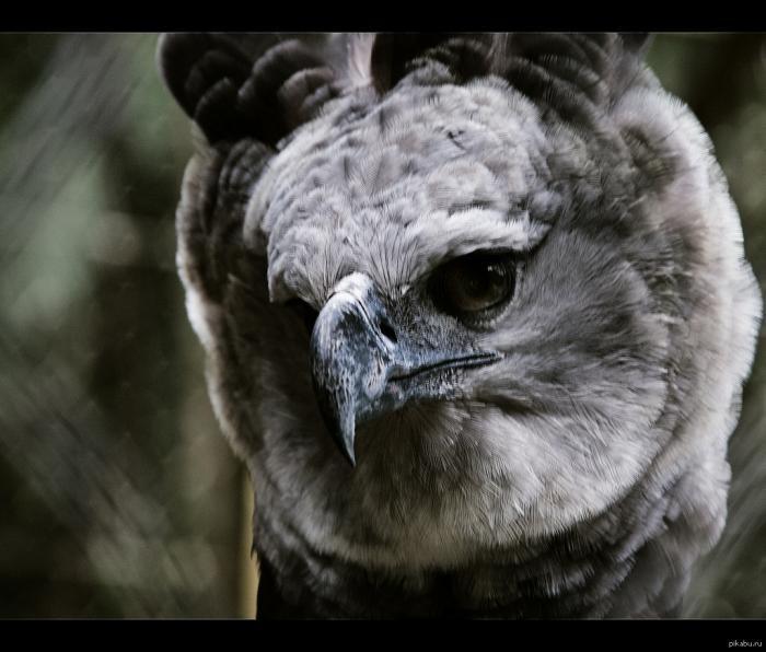 Самая сильная, птица в мире - южноамериканская гарпия (6 фото)