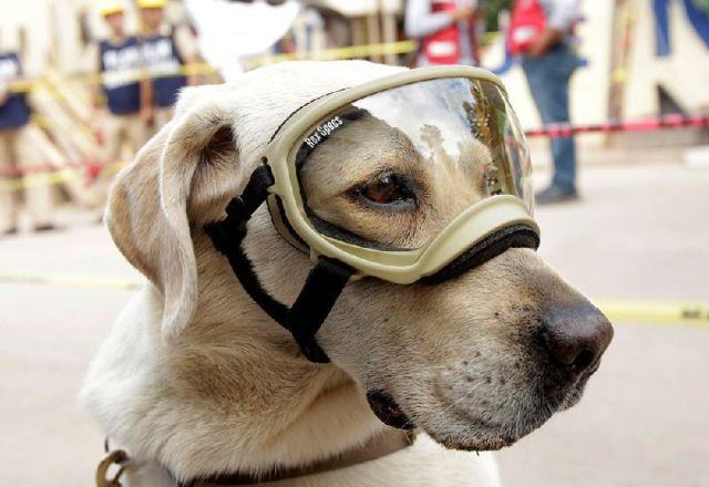 На счету этой собаки десятки спасенных жизней (4 фото)
