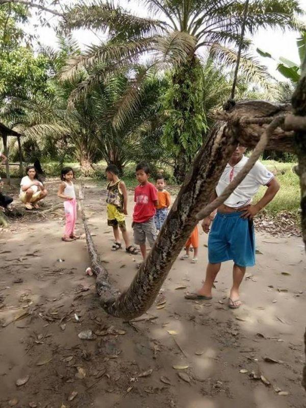 В Индонезии мужчина вступил в схватку с 7-метровым питоном (5 фото)
