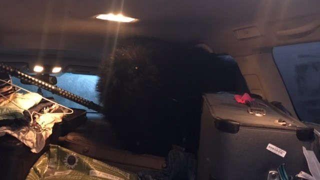 Американка обнаружила в своем автомобиле трех медведей (3 фото)