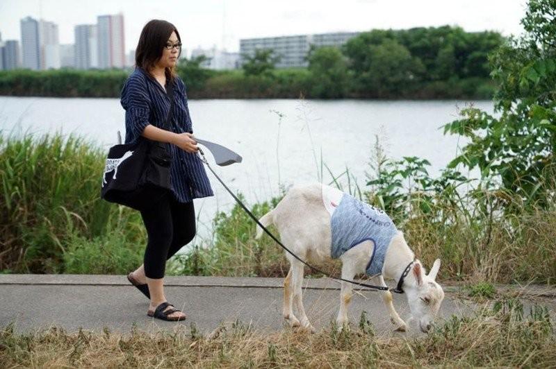 Японка 8 лет живёт со своим лучшим другом-козлом (16 фото)