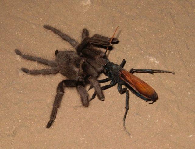 «Тарантуловые ястребы» - самые крупные осы в мире (4 фото)
