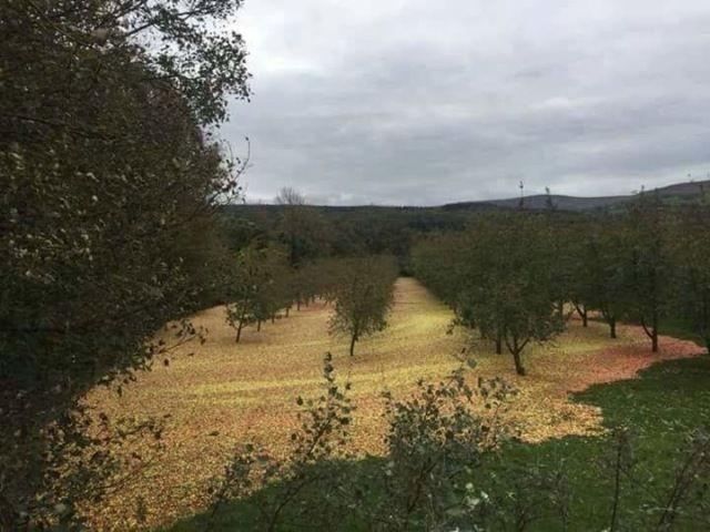 Ураган «Офелия» помог собрать урожай в яблоневом саду (4 фото)