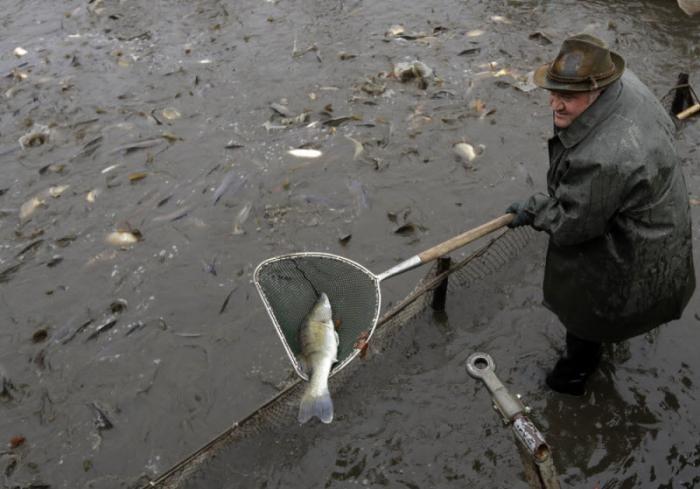 Ежегодная традиционная ловля карпа в Чехии (14 фото)