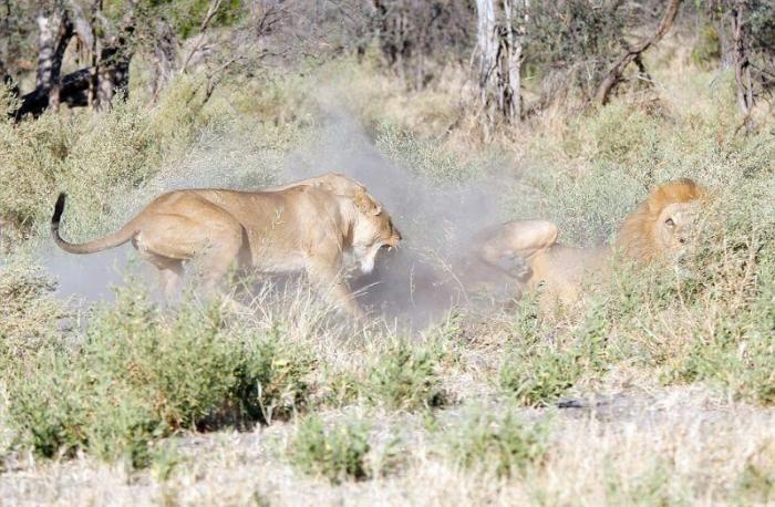 Царь зверей получает втык от царицы (7 фото)