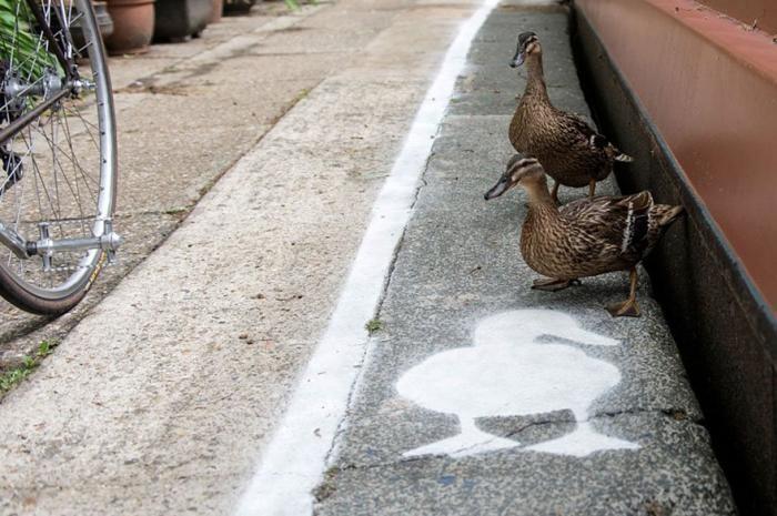 Специальные пешеходные дорожки для уток в Великобритании (5 фото)