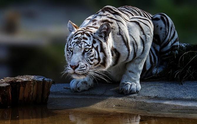 Тигры и их дикий животный магнетизм (21 фото)