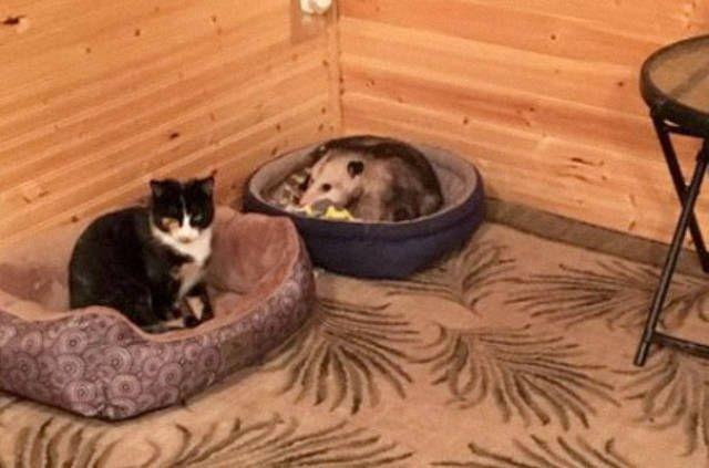 Хитрый опоссум прикинулся кошкой (3 фото)