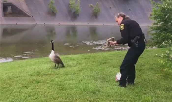 В США гусыня «попросила» полицейского спасти ее детеныша (3 фото)