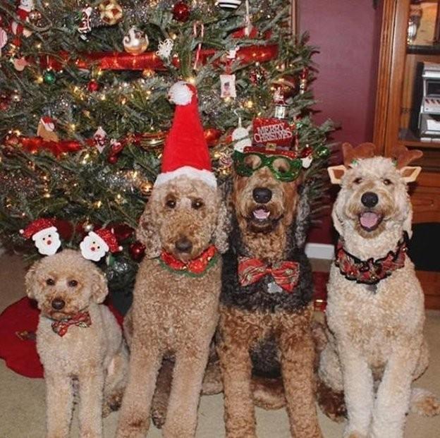 Праздник к нам приходит: очаровательные питомцы в рождественских нарядах (28 фото)