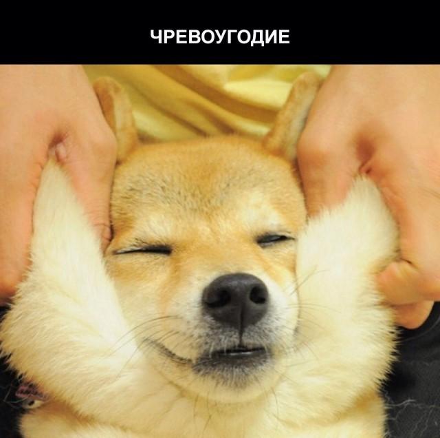 Забавная собака породы сиба-ину и семь смертных грехов (7 фото)