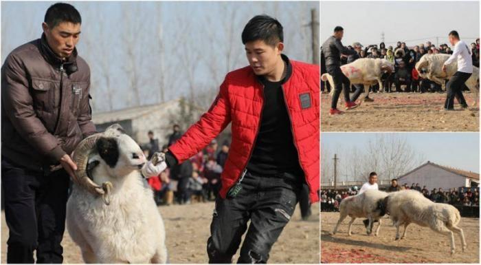 Турнир по боям баранов в Китае (7 фото)