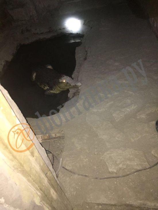 В Санкт-Петербурге в подвале дома заметили крокодила (3 фото)