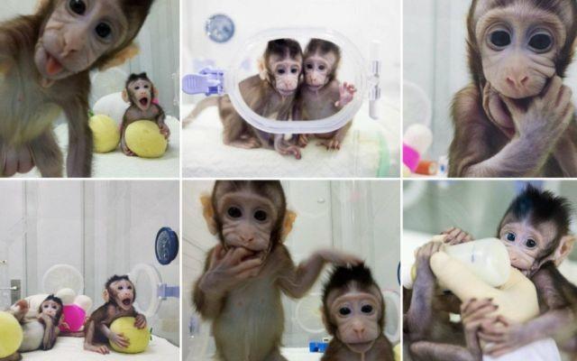 В Китае впервые клонировали обезьян по методике овечки Долли (4 фото)