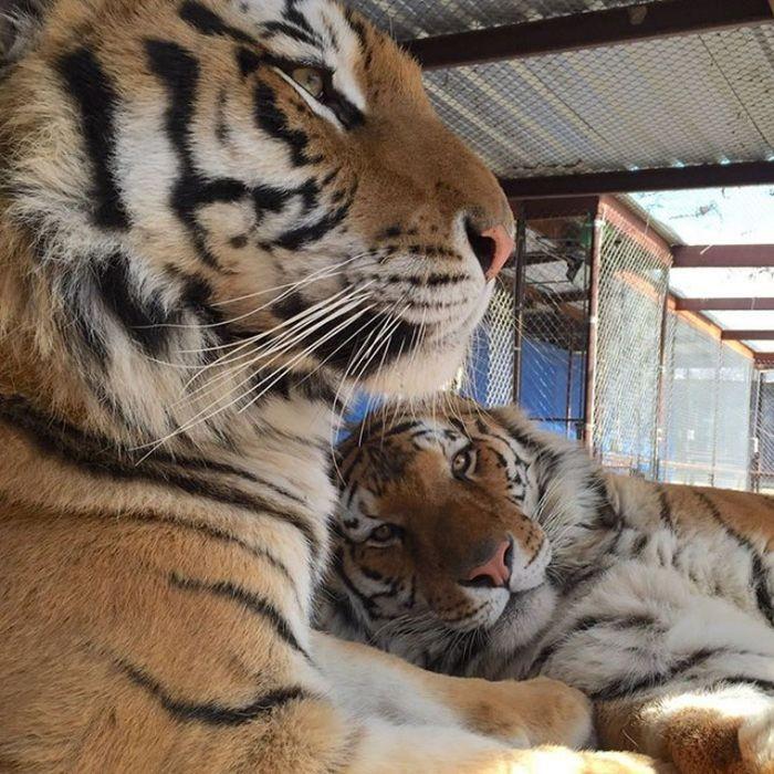 Чудесное преображение спасенной тигрицы (8 фото)
