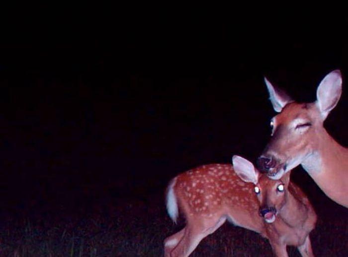 Фотоловушки делают удивительные снимки животных (29 фото)
