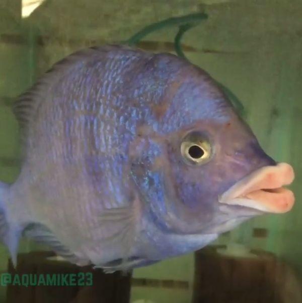 Рыба с губами человека (2 фото)