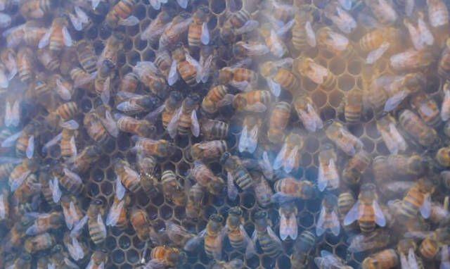 Пчелы вместо домашних любимцев (8 фото)