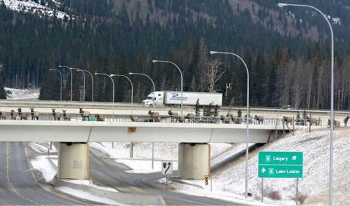 Мосты и тоннели для животных (40 фото)