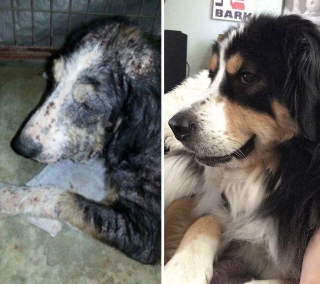 Как преображаются собаки, оказавшись в любящих семьях (20 фото)