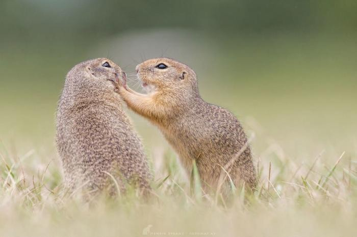 Суслики – самые умилительные создания на Земле! (21 фото)