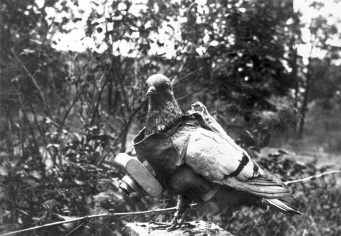Любопытные факты из истории голубиной почты (6 фото)