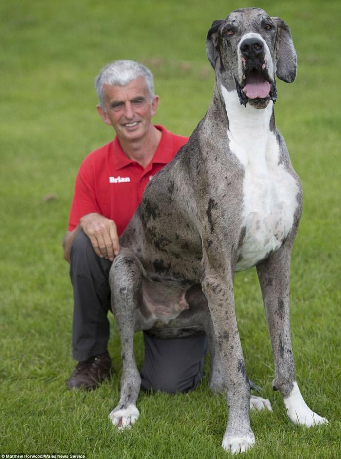Самая высокая собака в мире: двухметровый дог весом 76 кг (8 фото)