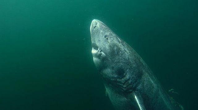 Гренландская акула оказалась старейшим позвоночным на планете (4 фото)