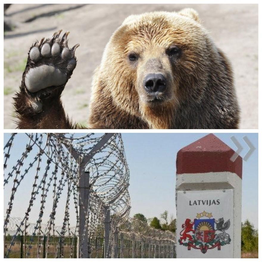 Медведь-эмигрант снес ограждение на латвийской границе, пытаясь сбежать в Россию (3 фото)