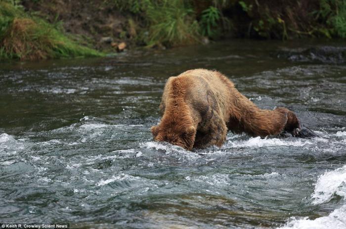 Битва титанов: как два медведя подрались за рыбку (8 фото)