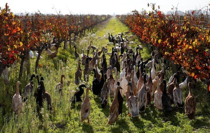 Более 1000 уток ежедневно трудятся на винограднике (7 фото)