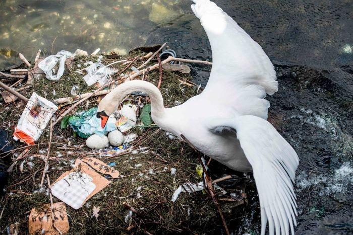 Самка лебедя свила гнездо из мусора и отложила в него яйца (4 фото)