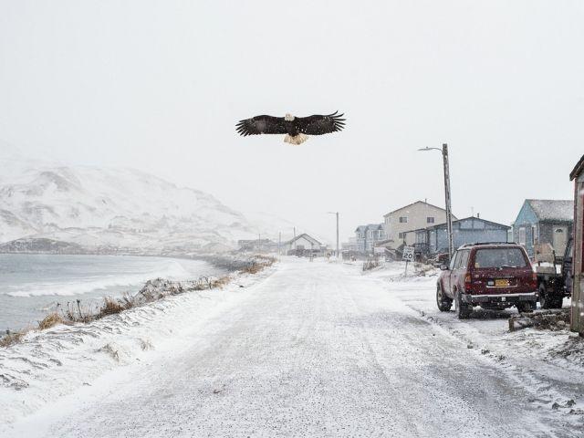Белоголовые орланы - бич города Уналашка на Аляске (5 фото)