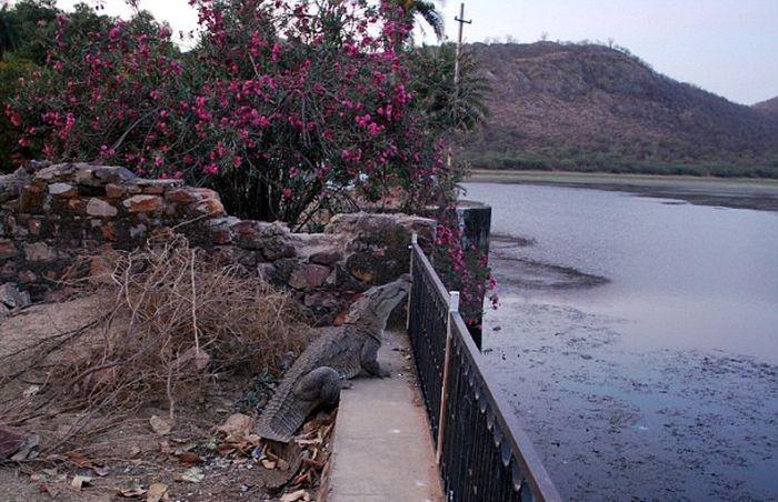 Крокодил демонстрирует ловкость и сноровку (5 фото)