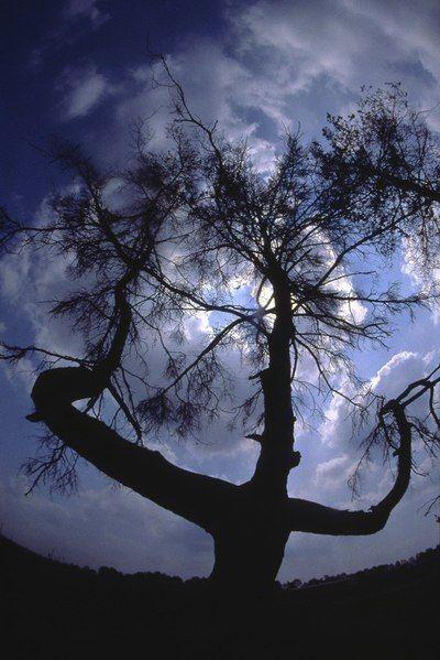 Известная сосна в зоне отчуждения ЧАЭС (4 фото)