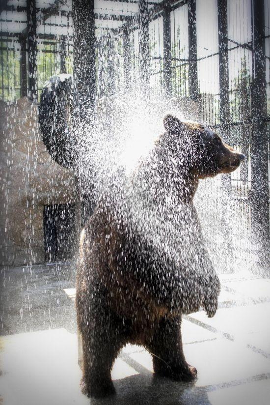 Медведь, который очень любит утренний душ (4 фото)