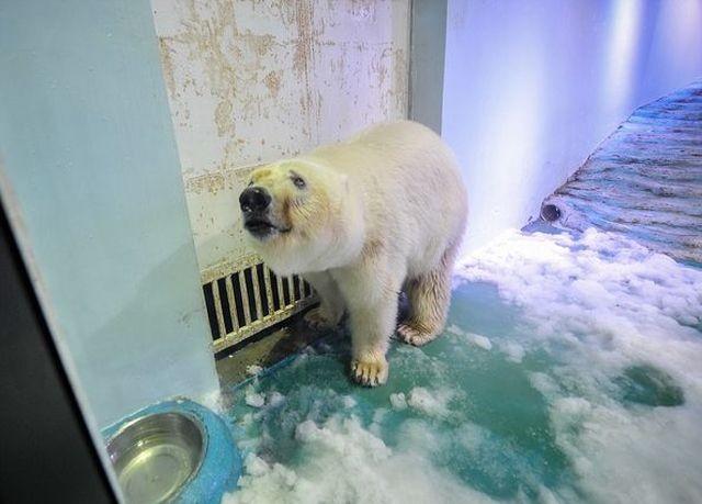 «Cамый грустный белый медведь в мире» спустя два года (4 фото)