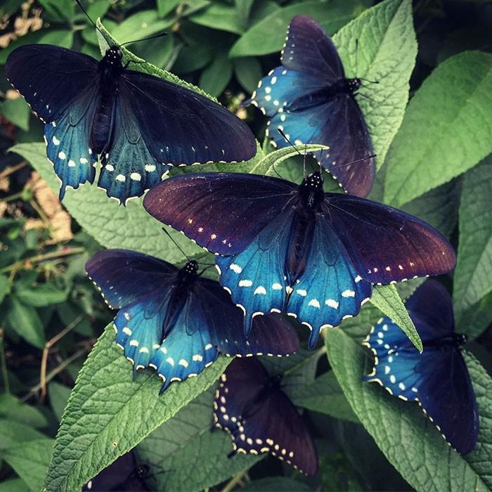 Биолог выводит исчезающий вид бабочек у себя в саду (9 фото)