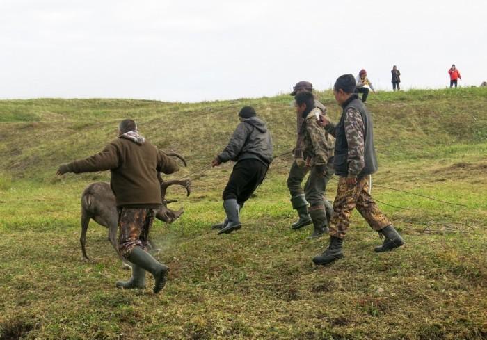 Чукотская оленина, чукотские олени и оленеводы (27 фото)