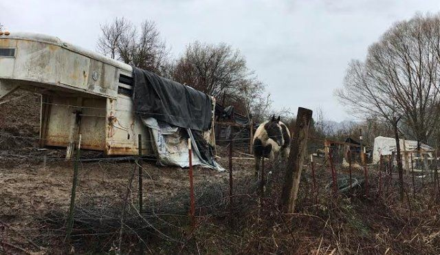 Спасение лошадей, живших в болоте за колючей проволокой (10 фото)